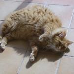 Pompon 4 - vive le chat