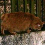 pompon 2 - vive le Chat