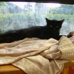 Rosine 1 - chatte associassion vive le chat