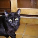 Rosine 2 - chatte associassion vive le chat