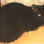 Rosine 3 - chatte associassion vive le chat